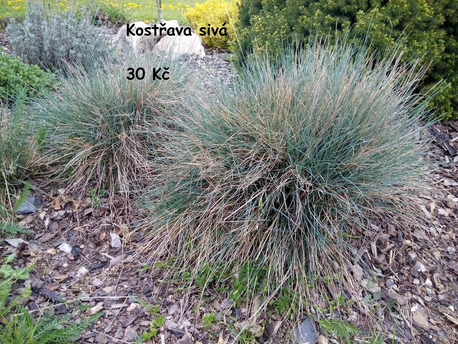 Okrasné trávy různé druhy - Obrázek č. 3