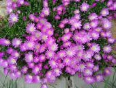 Delosperma fialovobílá,