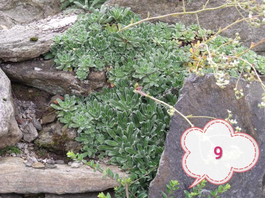 Lomikámen různé druhy - Obrázek č. 1