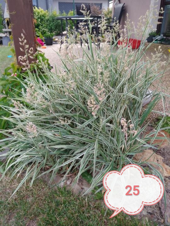 Okrasné trávy různé druhy - Obrázek č. 2