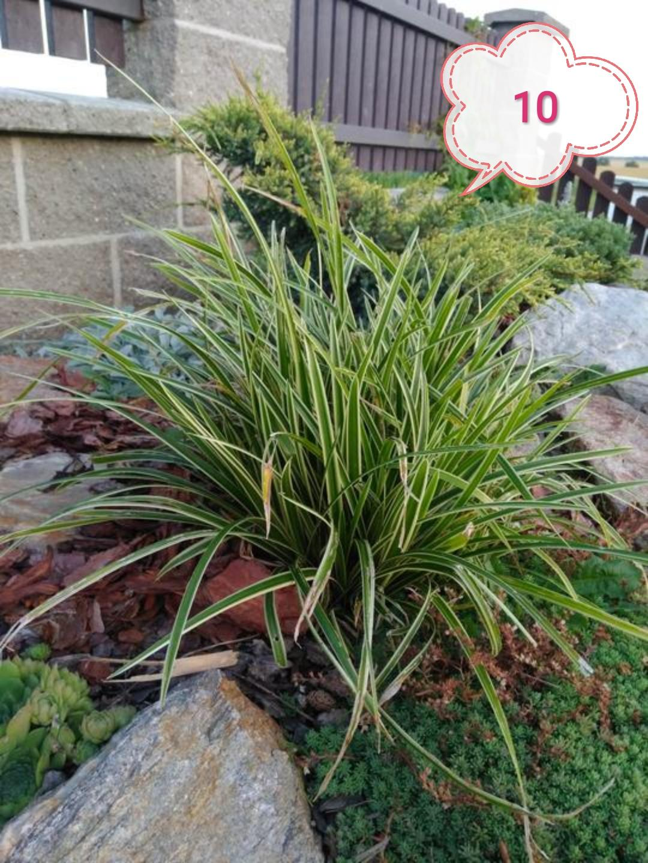 Okrasné trávy různé druhy - Obrázek č. 1