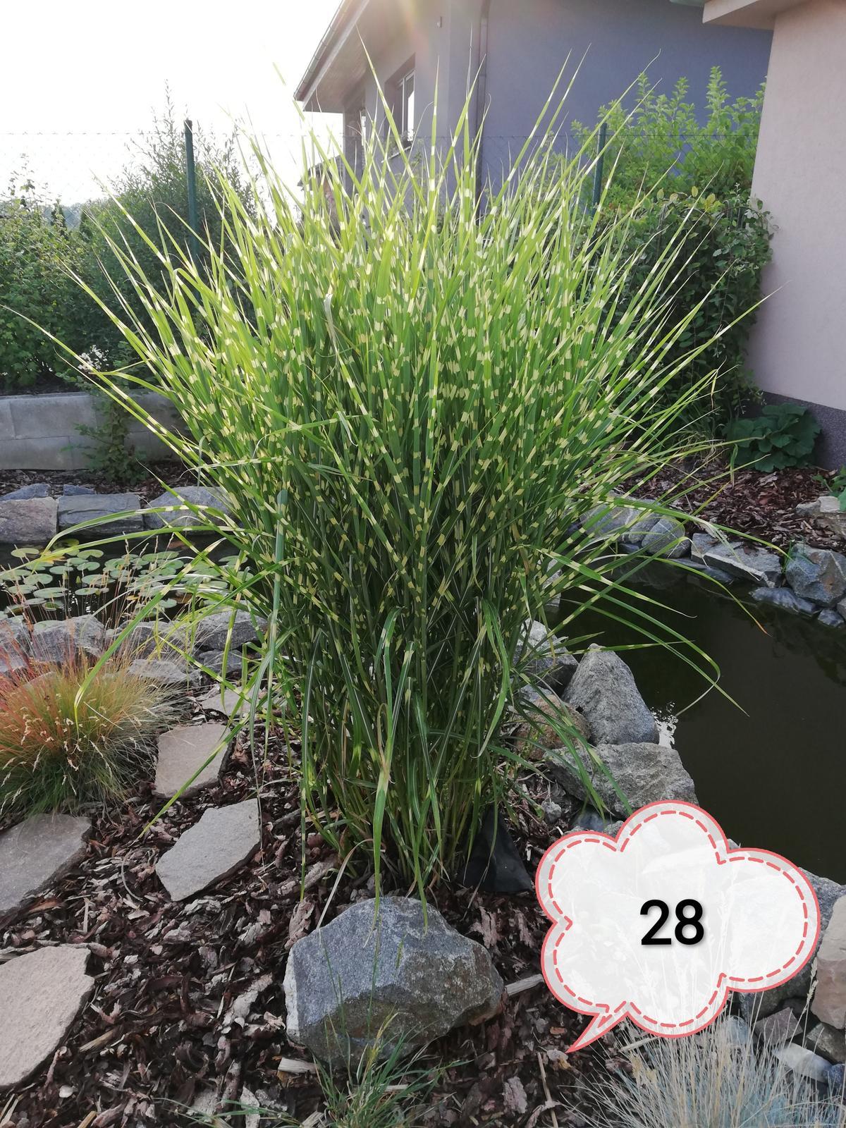Okrasné trávy různé druhy - Obrázek č. 4