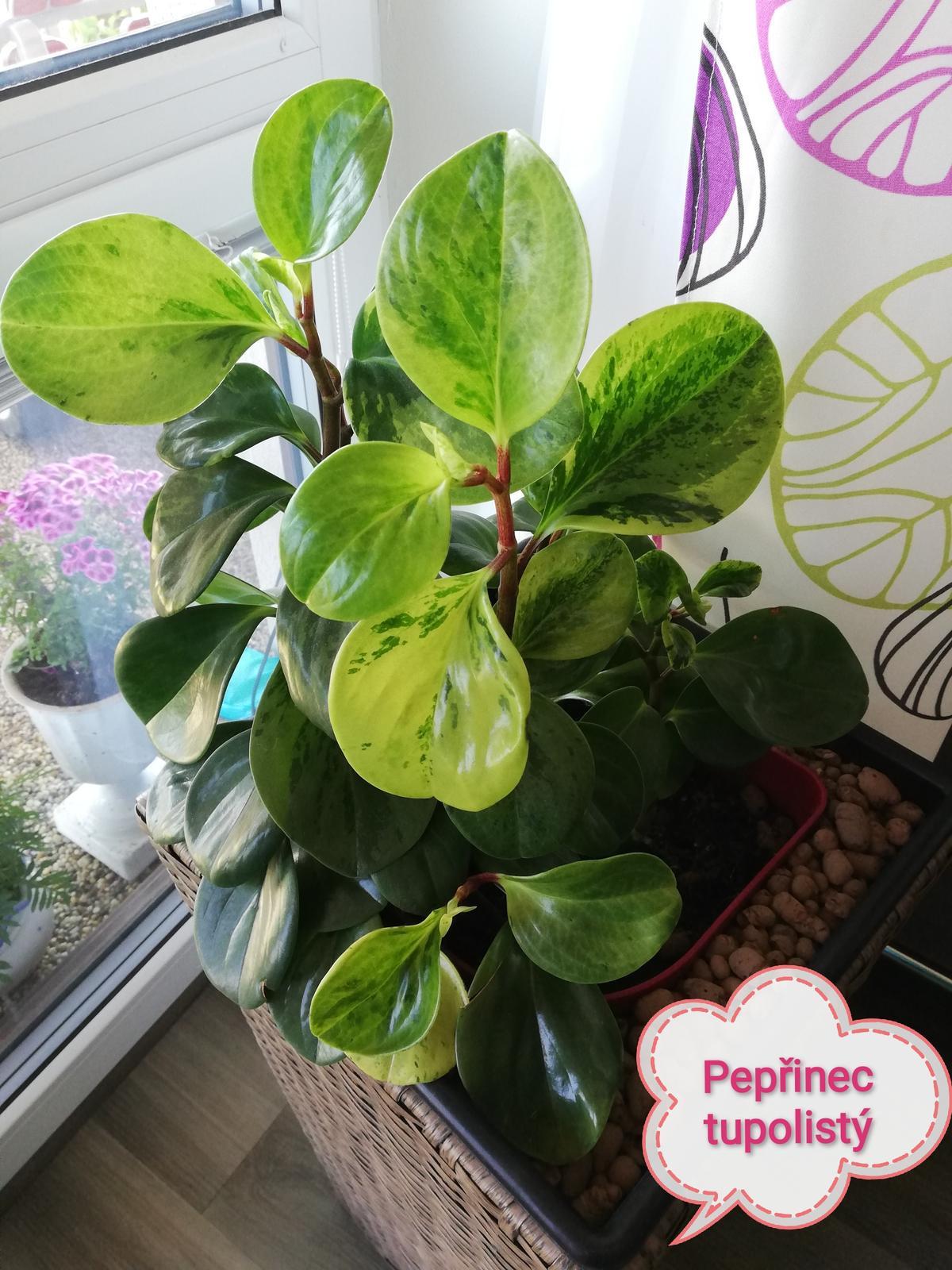 Peperomia Obtusifolia Marble - Obrázek č. 2