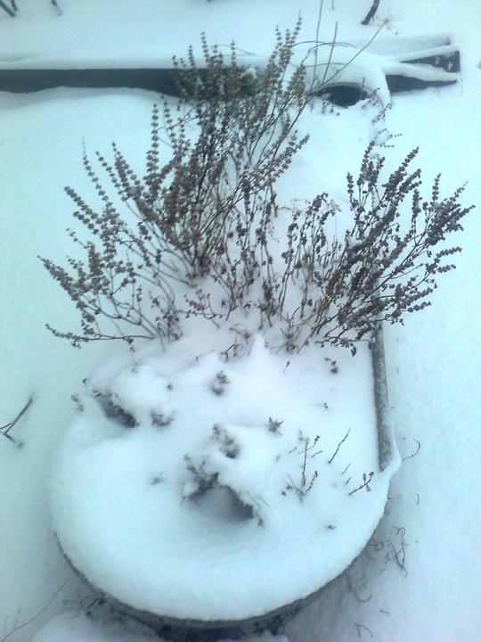 STEP  BY    S  T  E  P - Moja zimna bylinkova zahradka. Tie dlhe suche pahyle je bazalka - semienka, ktore su tam pouzijem na jar :)