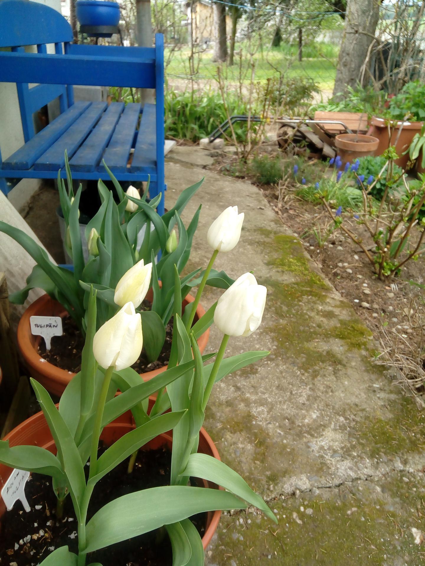 tulipány na chalupe  ma počkali :) - Obrázok č. 1