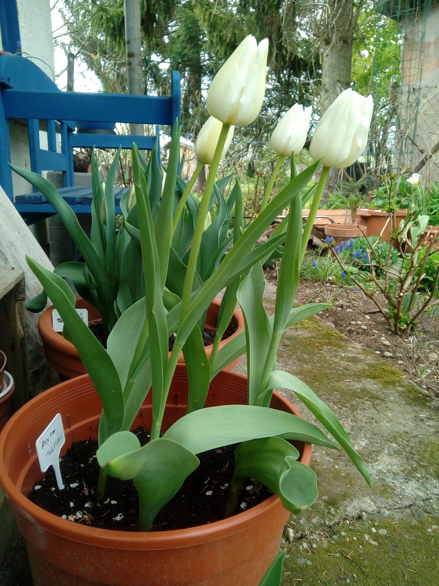 tulipány na chalupe  ma počkali :) - Obrázok č. 3