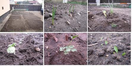 už nám to rastie :)  cesnak, cesnaková tráva, slnečnica (našli sme tam semienka vyklíčene tak sme si ich presadili k plotu) , ligurček (tiež sme tam našli) a hrášok :)