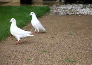 prekvapeni od pratel bylo vypousteni holubicek po obradu