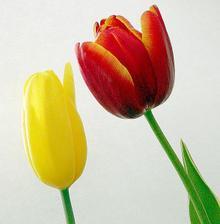 ...tulipány...moja srdcová záležitosť...