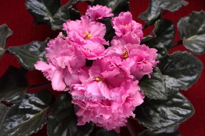 ružová fialka so zvláštnymi listami - Obrázok č. 1