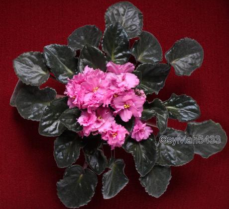 ružová fialka so zvláštnymi listami - Obrázok č. 3