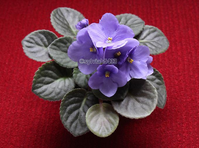 fialová africká fialka - Obrázok č. 1