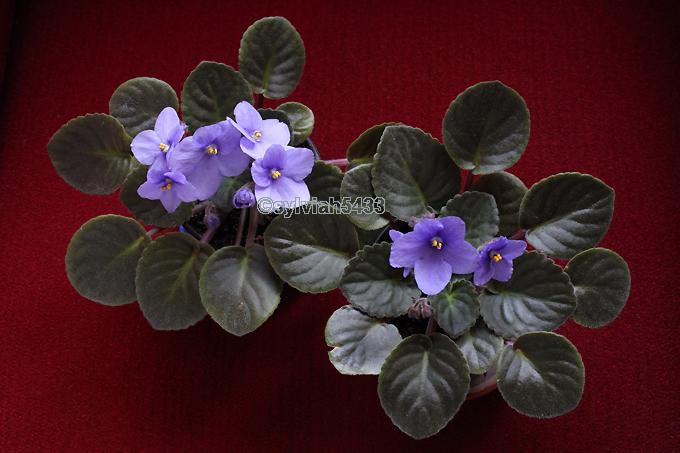 fialová africká fialka - Obrázok č. 2