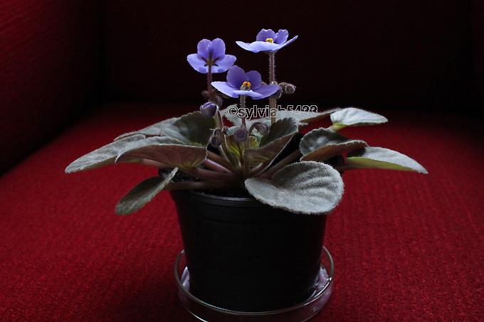 fialová africká fialka - Obrázok č. 3