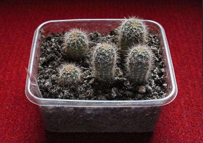 kaktusová škôlka - echinopsis oxygona - Obrázok č. 1