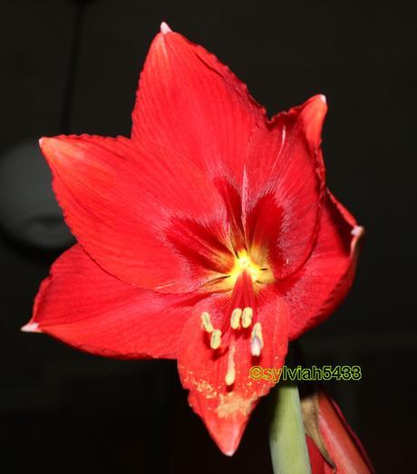 červená zornica - cibuľky - Obrázok č. 1