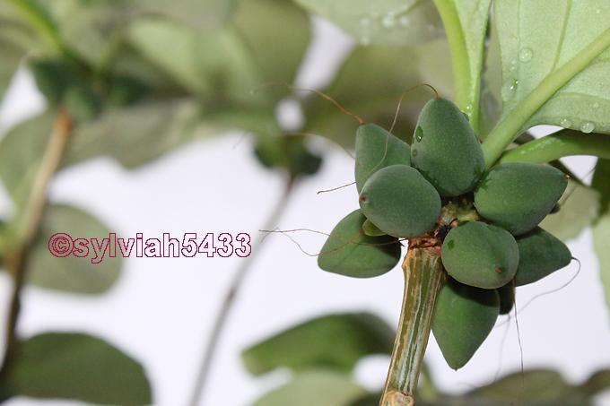 dermatobotrys saundersii - Obrázok č. 1