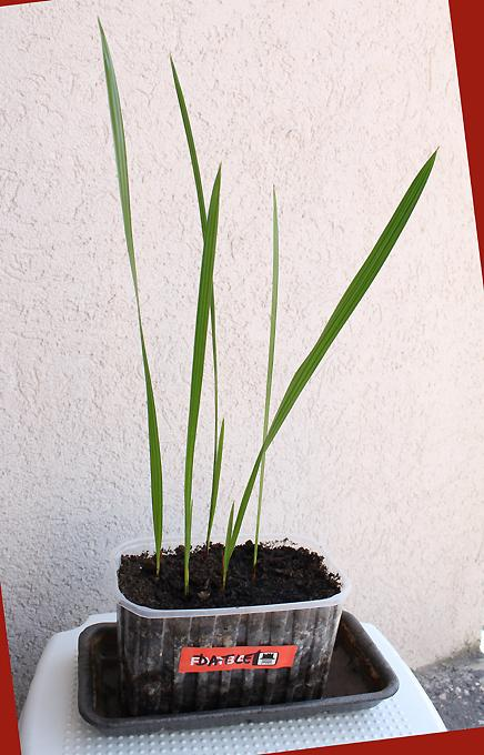 výsev - datlová palma - Obrázok č. 1