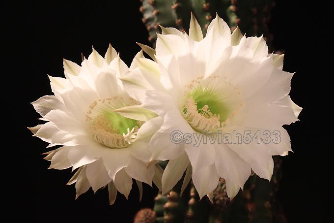 kaktus echinopsis - Obrázok č. 1