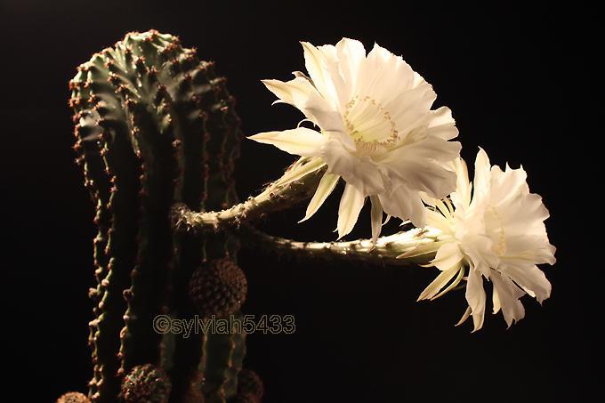 kaktus echinopsis - Obrázok č. 3