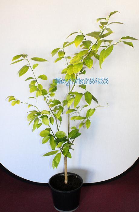 citrus bigarádia - Obrázok č. 1