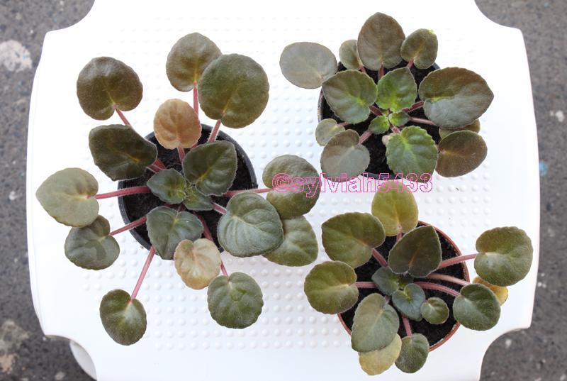 ružová fialka so zvláštnymi listami - Obrázok č. 4