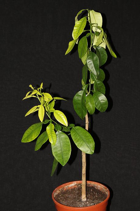 citrus grep - Obrázok č. 1