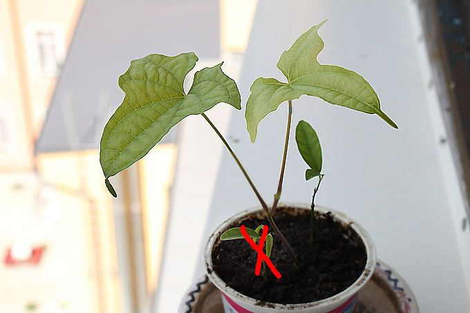 dioscorea macroura a citrus limonela - Obrázok č. 1
