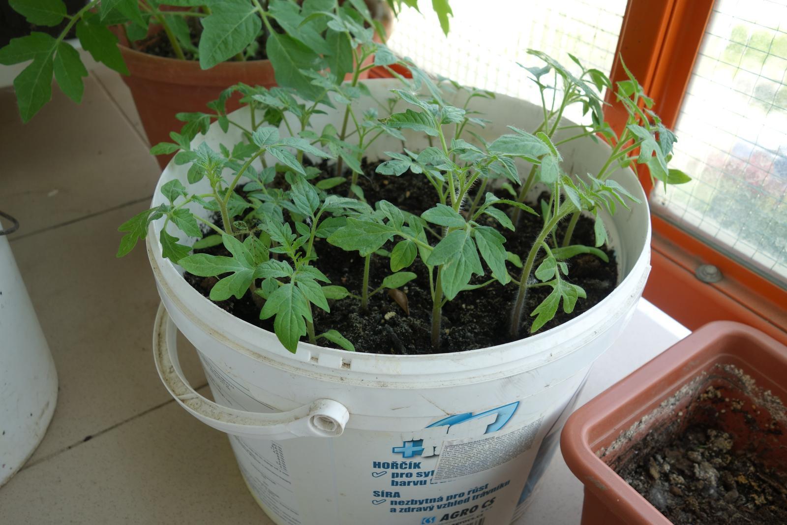 paradajka zlta, obria - Obrázok č. 1