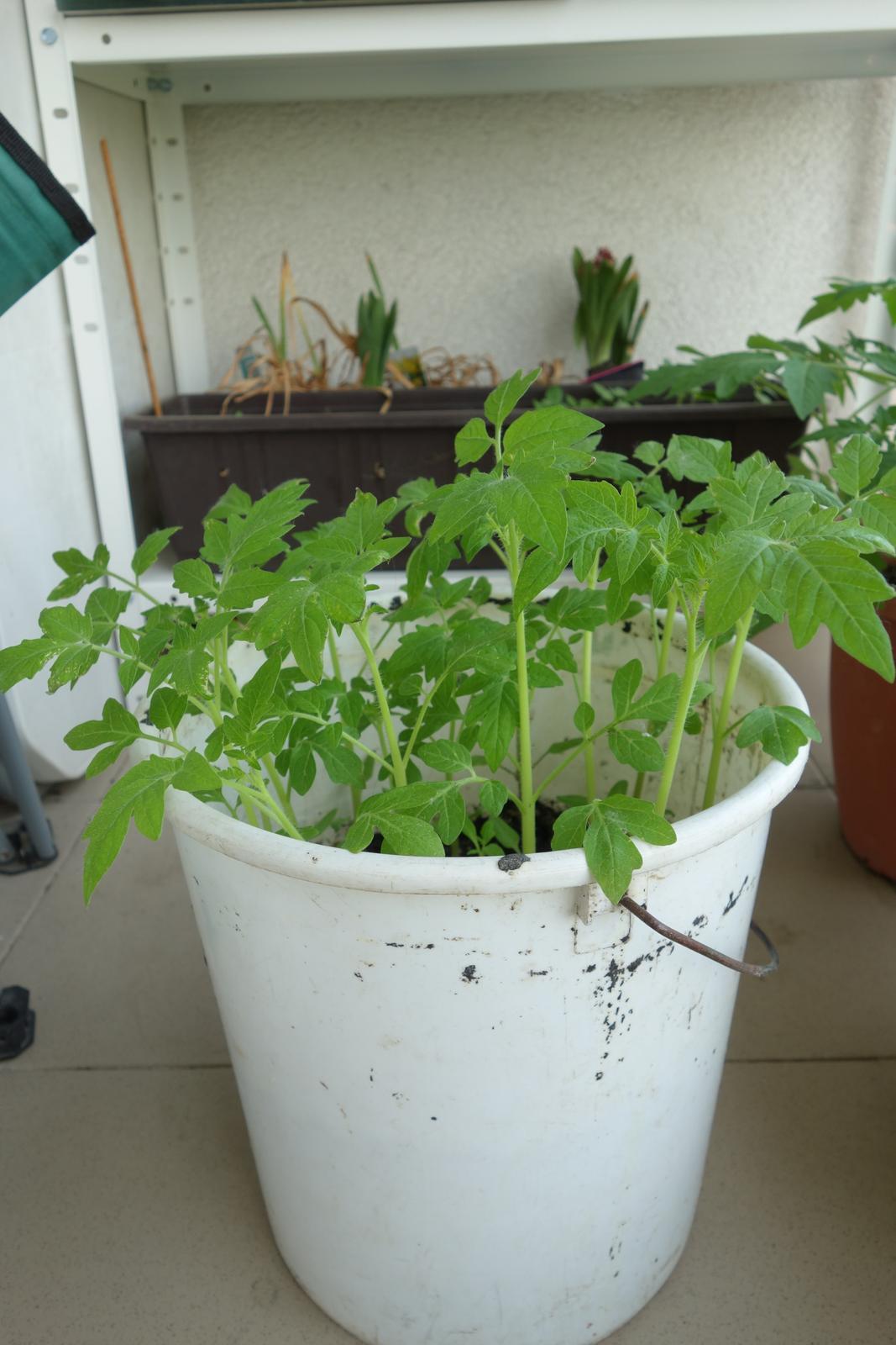 paradajka zlta, obria - Obrázok č. 2