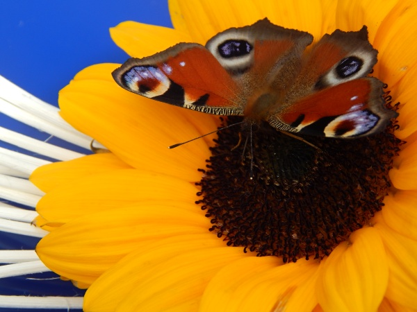 Barča{{_AND_}}Petr - neteř vyfotila motýla, který se usadil na ozdobě kapoty mého auta