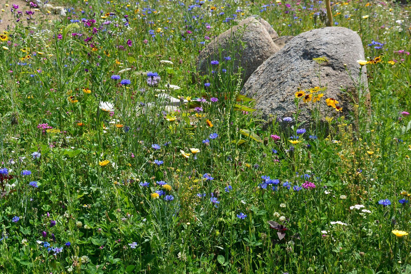 Motýlí zahrada 2019-2020 - Květinová louka je po celé délce jedné strany pozemku. Bzučí od ráda do večera....