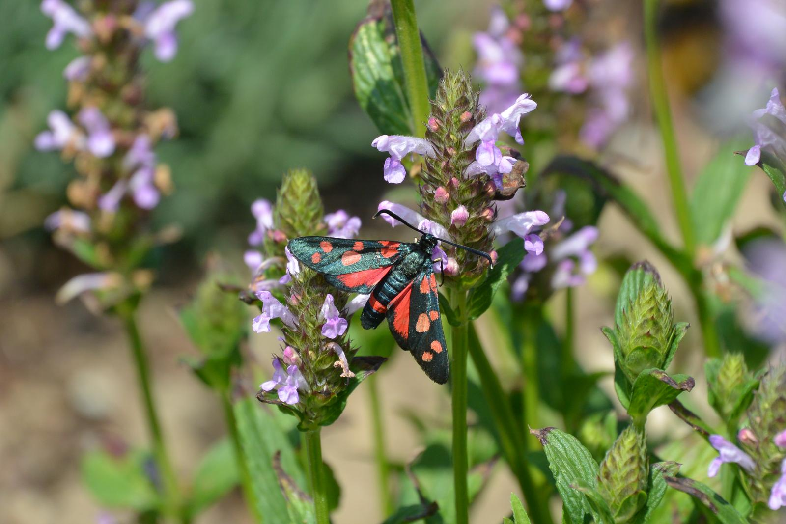 Motýlí zahrada 2019-2020 - Toto je asi Vřetenuška obecná