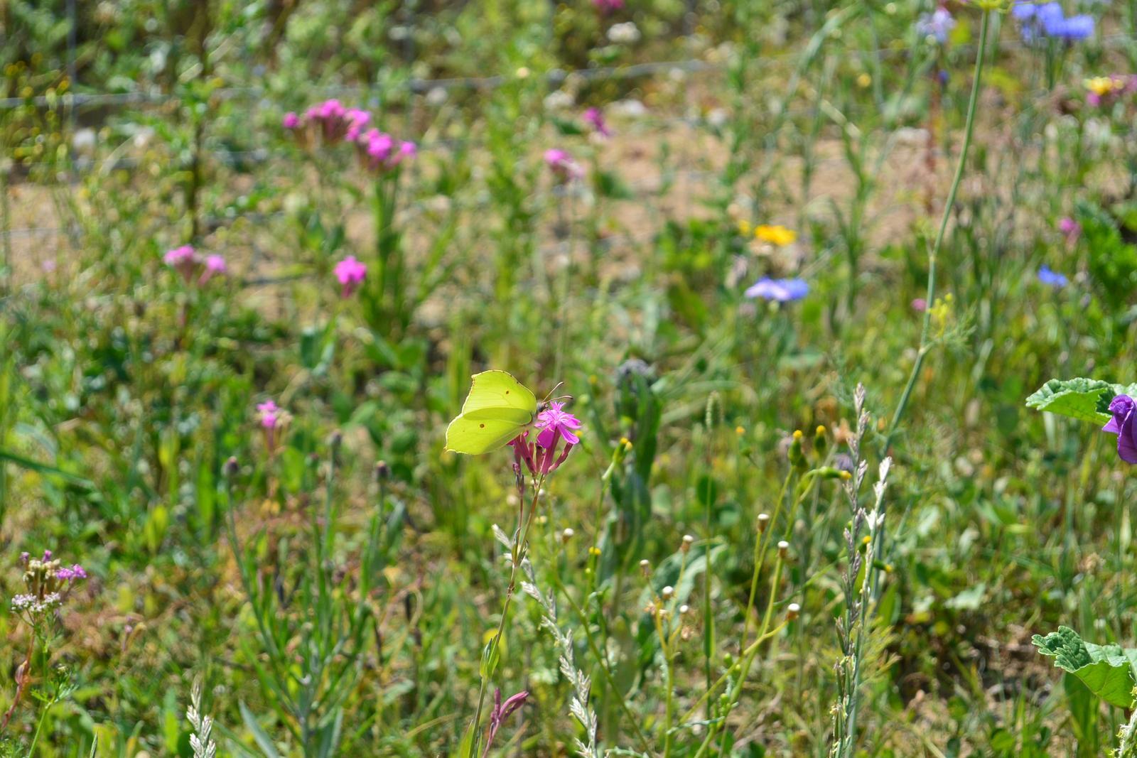 Motýlí zahrada 2019-2020 - Žluťásek řešetlákový