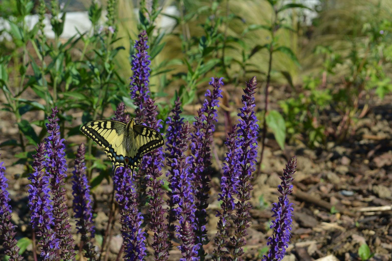 Motýlí zahrada 2019-2020 - Otakárek fenyklový