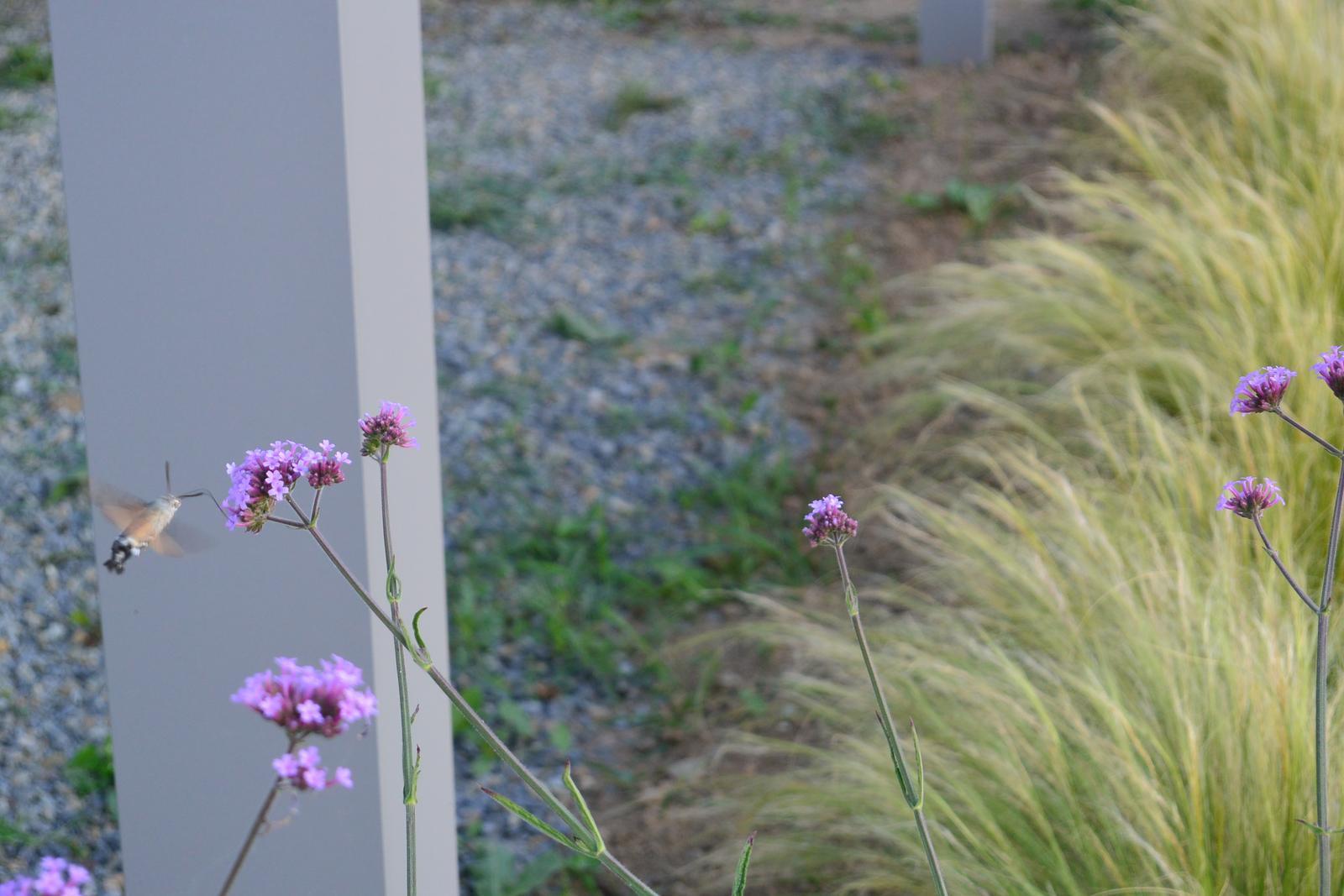 Motýlí zahrada 2019-2020 - Dlouhozobka svízelová u nás téměř každý den.