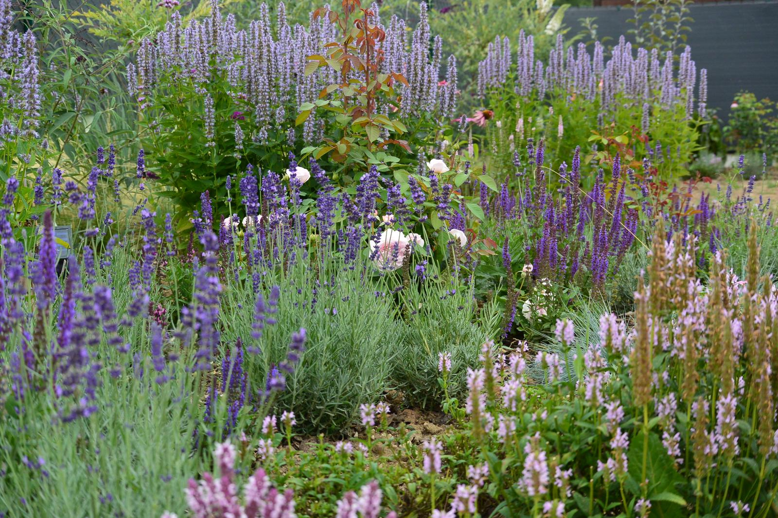 Živá zahrada 2019-2020 - Vzadu Agastache pak růže Olivia Rose, Šalvěj, Levandule Hidcot, Šanta kočičí