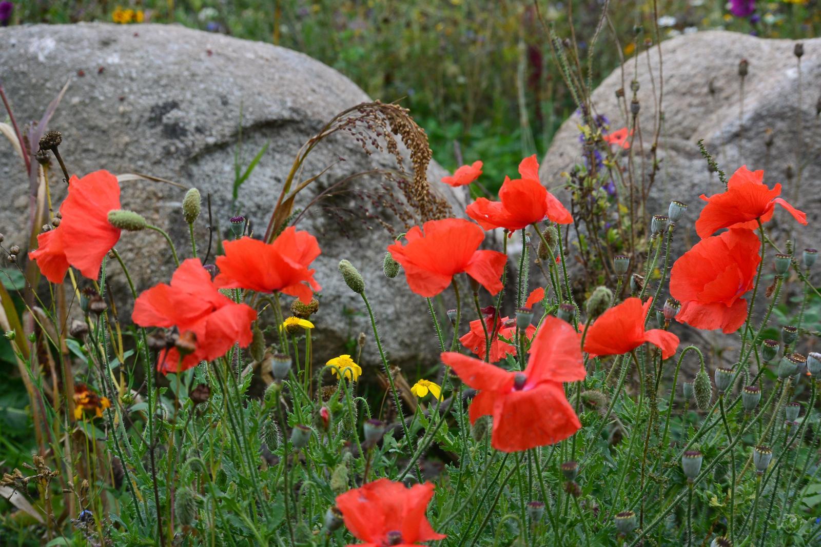 Motýlí zahrada 2019-2020 - Tolik krásných květin co mi vyrostlo na louce takový malý velký zázrak pro někoho kdo žil v paneláku. :-)