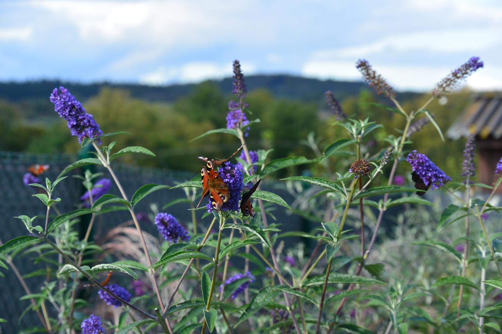 Motýlí zahrada 2019-2020 - Motýláky totálně obalené mlsouny.