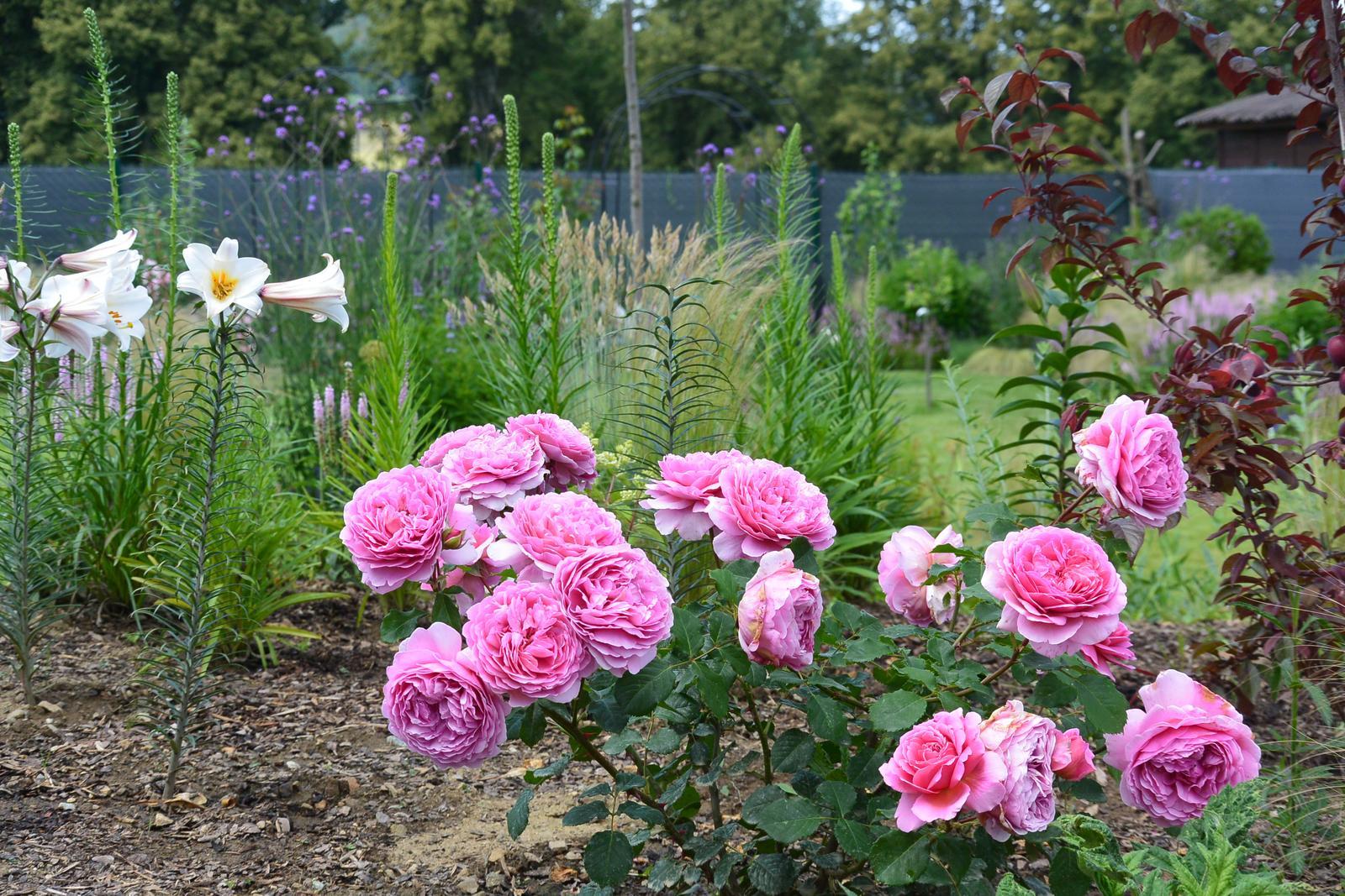 Živá zahrada 2019-2020 - Alexadra of Kent jediná růže která se letos takto vydařila.