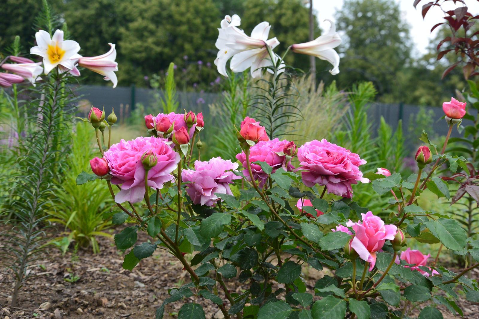 Motýlí zahrada 2019-2020 - Lilie Regale a Alexndra of Kent...