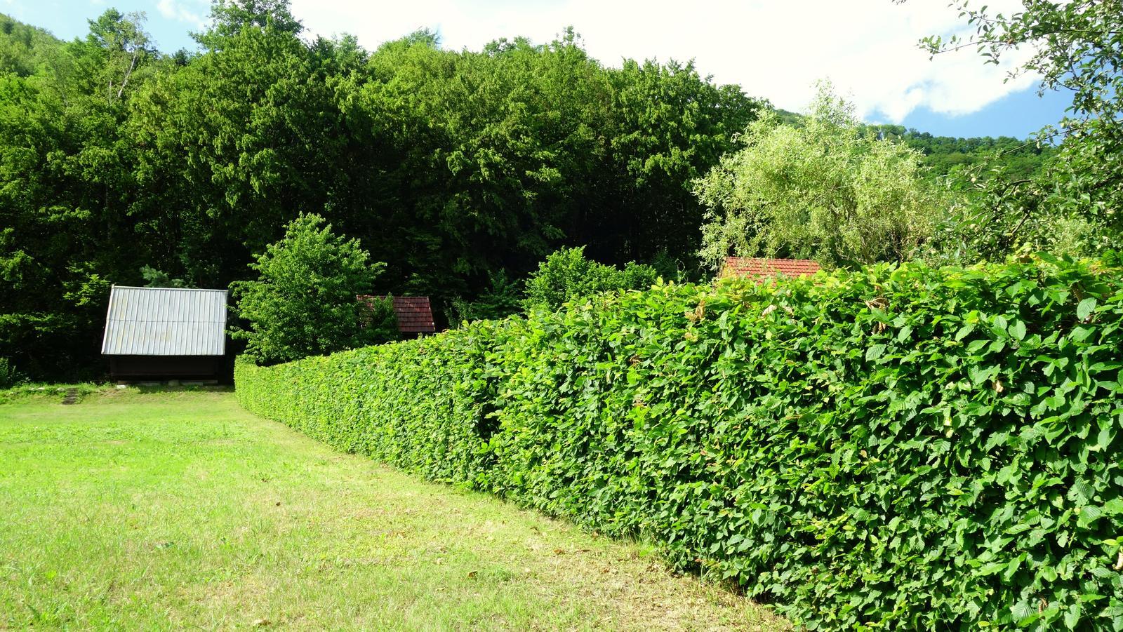 Ja mám živý plot... - Obrázok č. 1