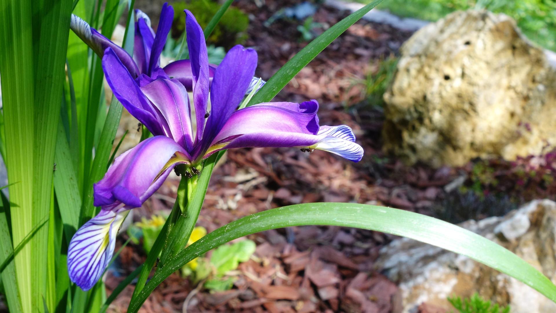 Dnešné-Iris, Arónia, Púpava - Obrázok č. 1