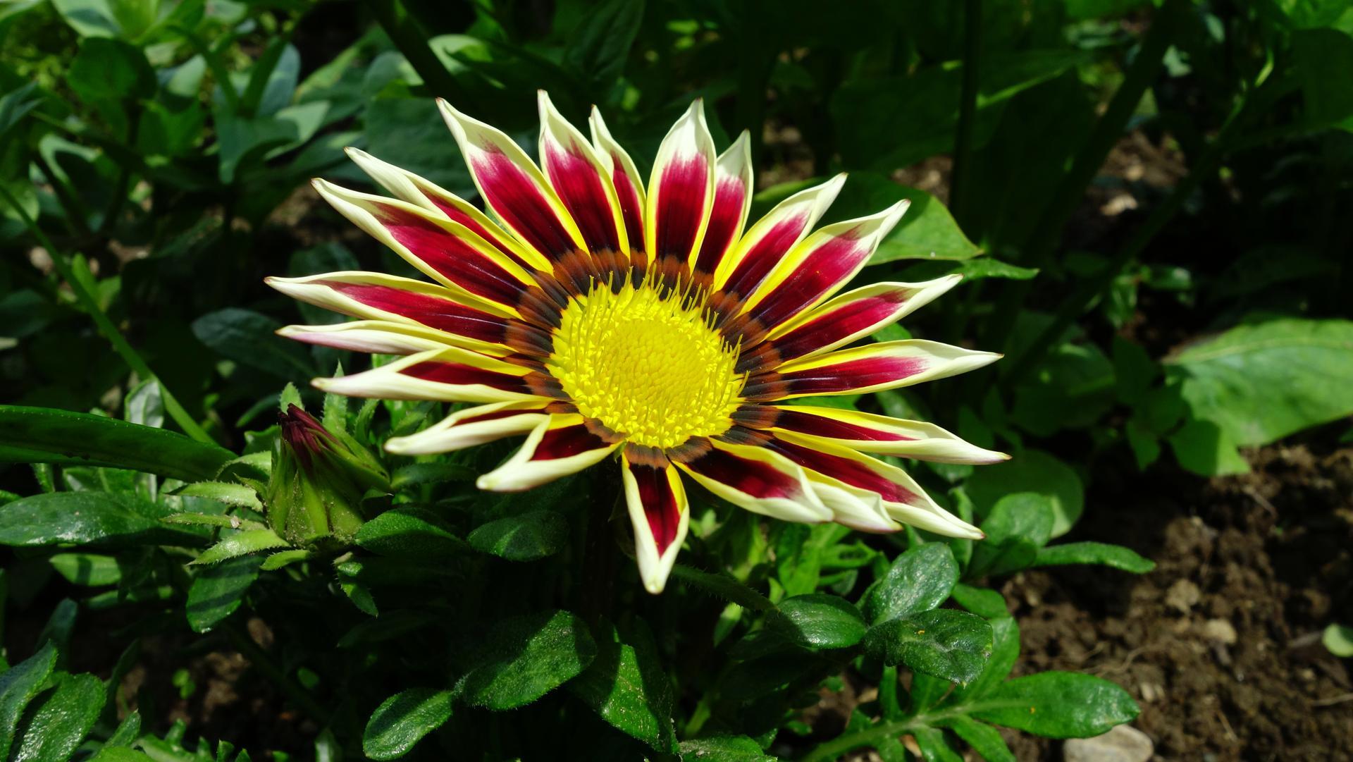 Gazánie z našej záhradky - Obrázok č. 1