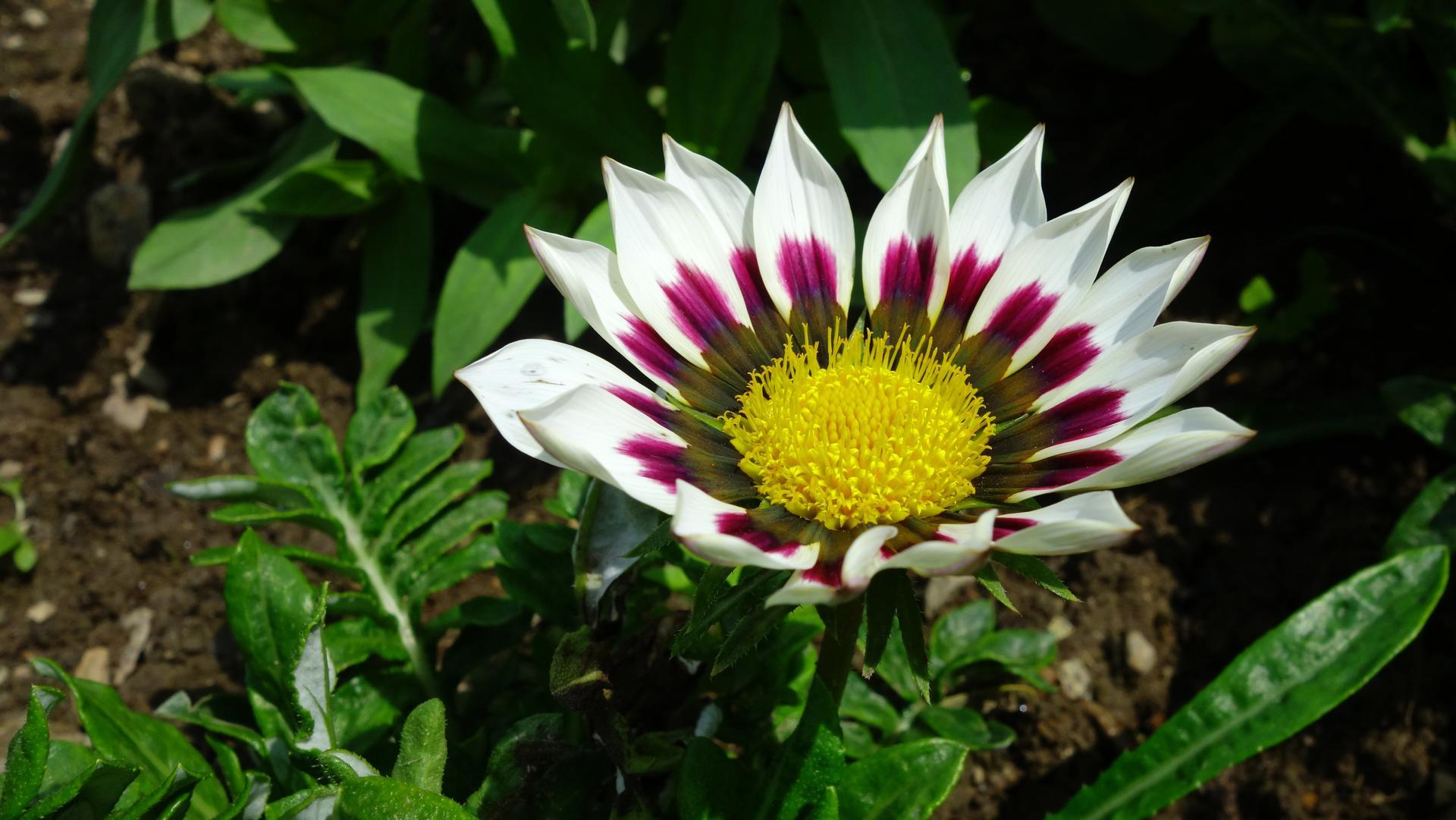Gazánie z našej záhradky - Obrázok č. 2