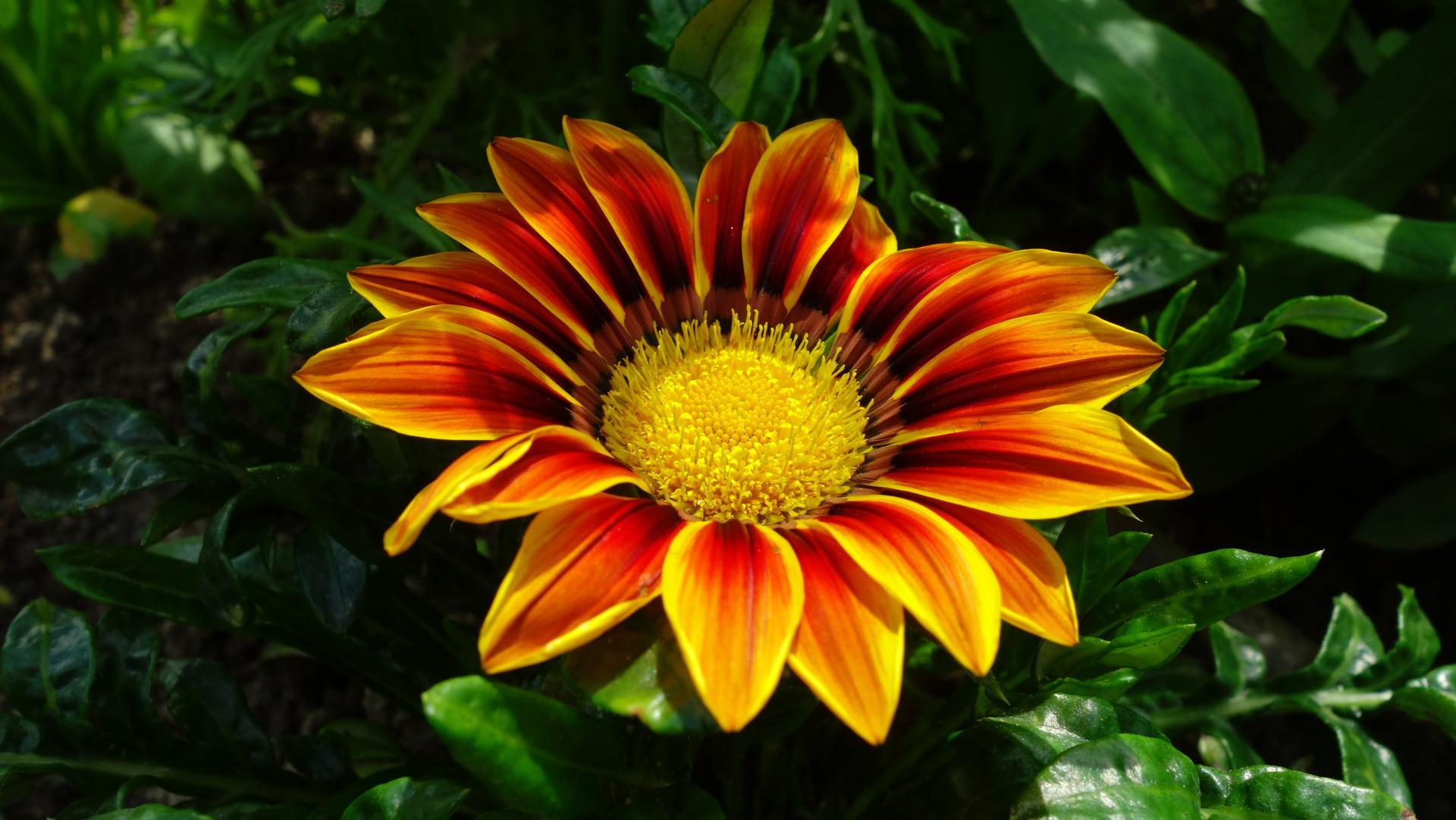 Gazánie z našej záhradky - Obrázok č. 3