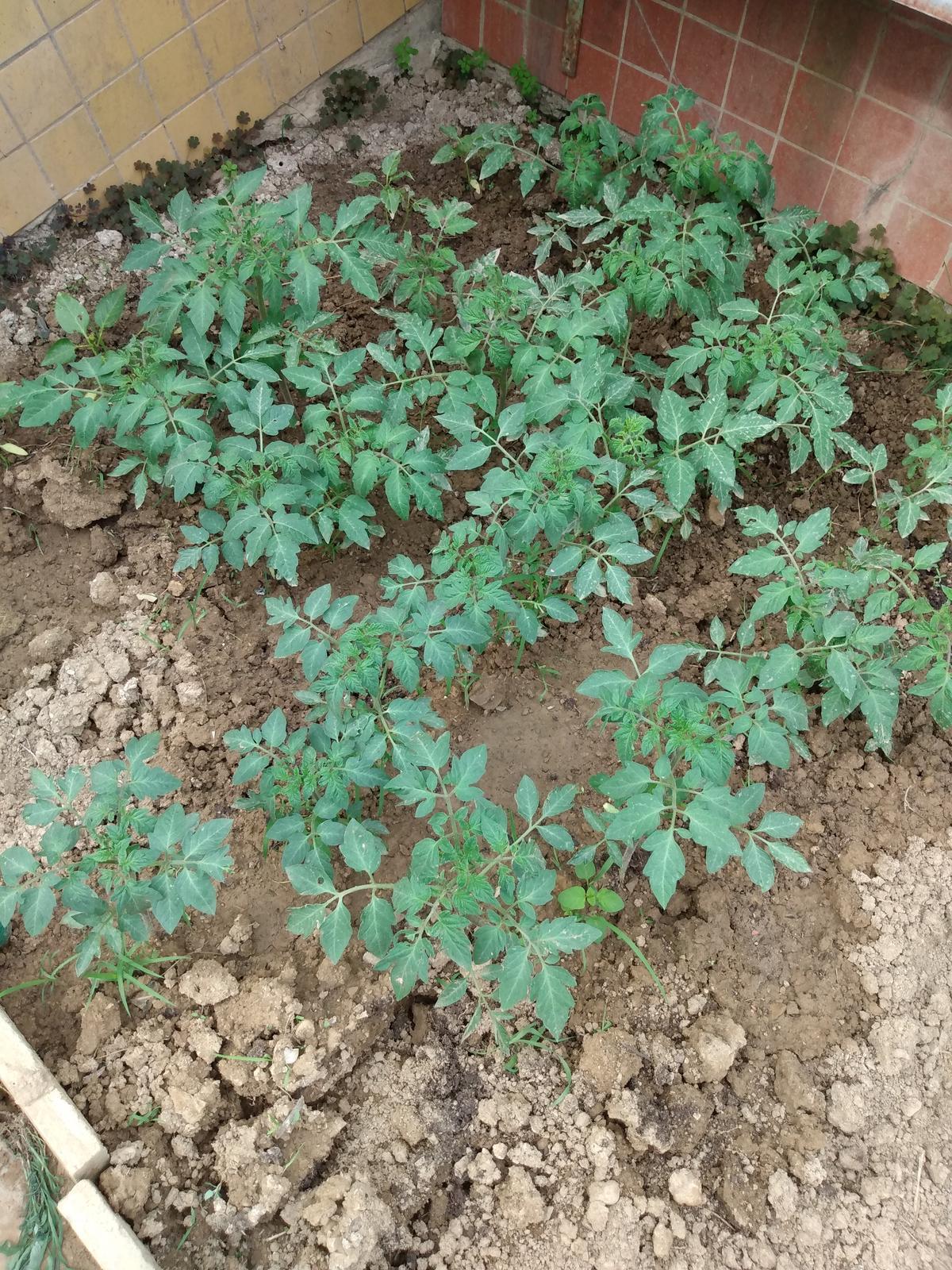 Domáce bio priesady paradajky - Obrázok č. 1