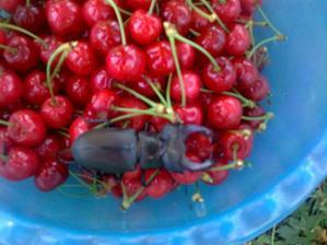Ááááááá,takýto poklad nám spadol do misky pri oberaní naších čerešničiek,inak sme sa zľakli :)