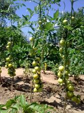 Naše rajčinky,alebo rančinky ako hovorí Dominka :)