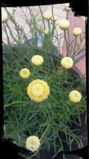 Santolina kvitne do krasy
